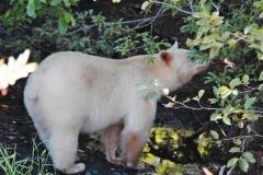 Vzácny čierny medveď kermode s bielou farbou