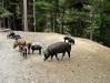 Haute Corse, voľne žijúce ošípané