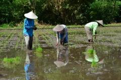 Výsadba ryže v Indonézii, Mataram, ostrov Lombok
