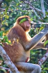 Vzrušený kahau, Borneo, NP Tanjung Puting
