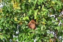 Kahau nosatý, Borneo, Indonézia