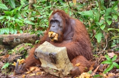Tanjung Puting, Borneo, kŕmenie orangutanov