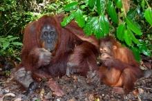 Poznávanie Indonézie, NP Tanjung Puting