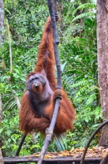 Dovolenka Indonézia, Borneo, orangutany v prírode