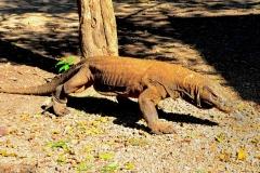 Poznávanie Indonézie, komodský drak