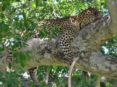 Uvidíte na safari i leoparda?
