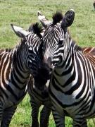 Zebry na safari v Keni budete vídať často