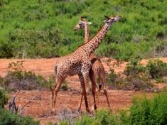 Bojujúce žirafy