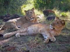 Safari Keňa, mladí králi savany