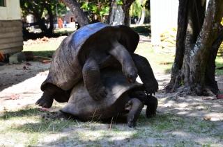 Seychelly, korytnačky na ostrove Curieuse