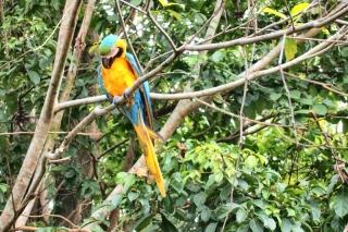 Papagáji v Orinocu
