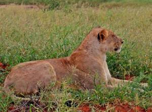 Levica na safari v Keni